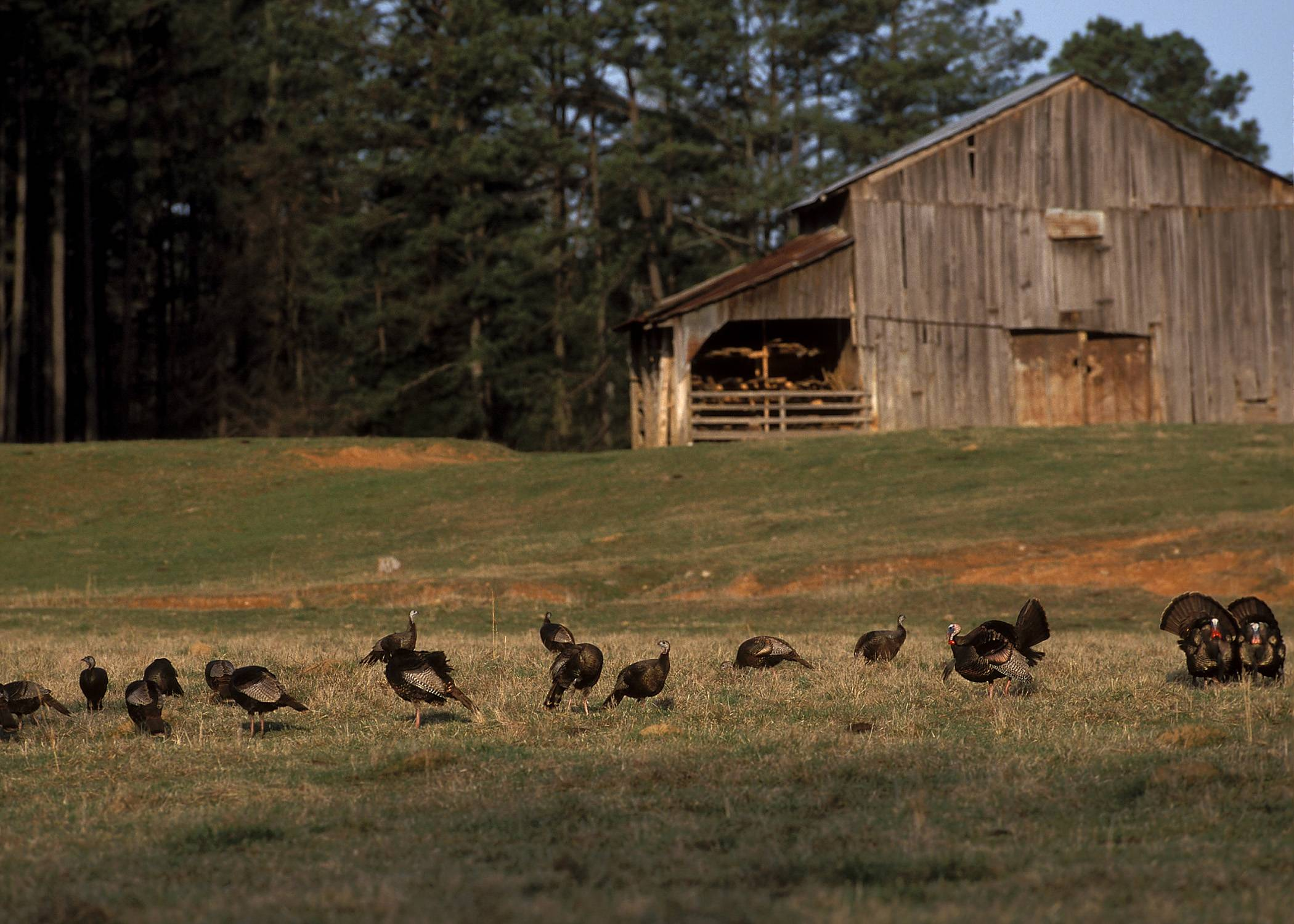 flock of wild turkey hanging around the farm Photo by Tom EvansNWTF 2100x1500