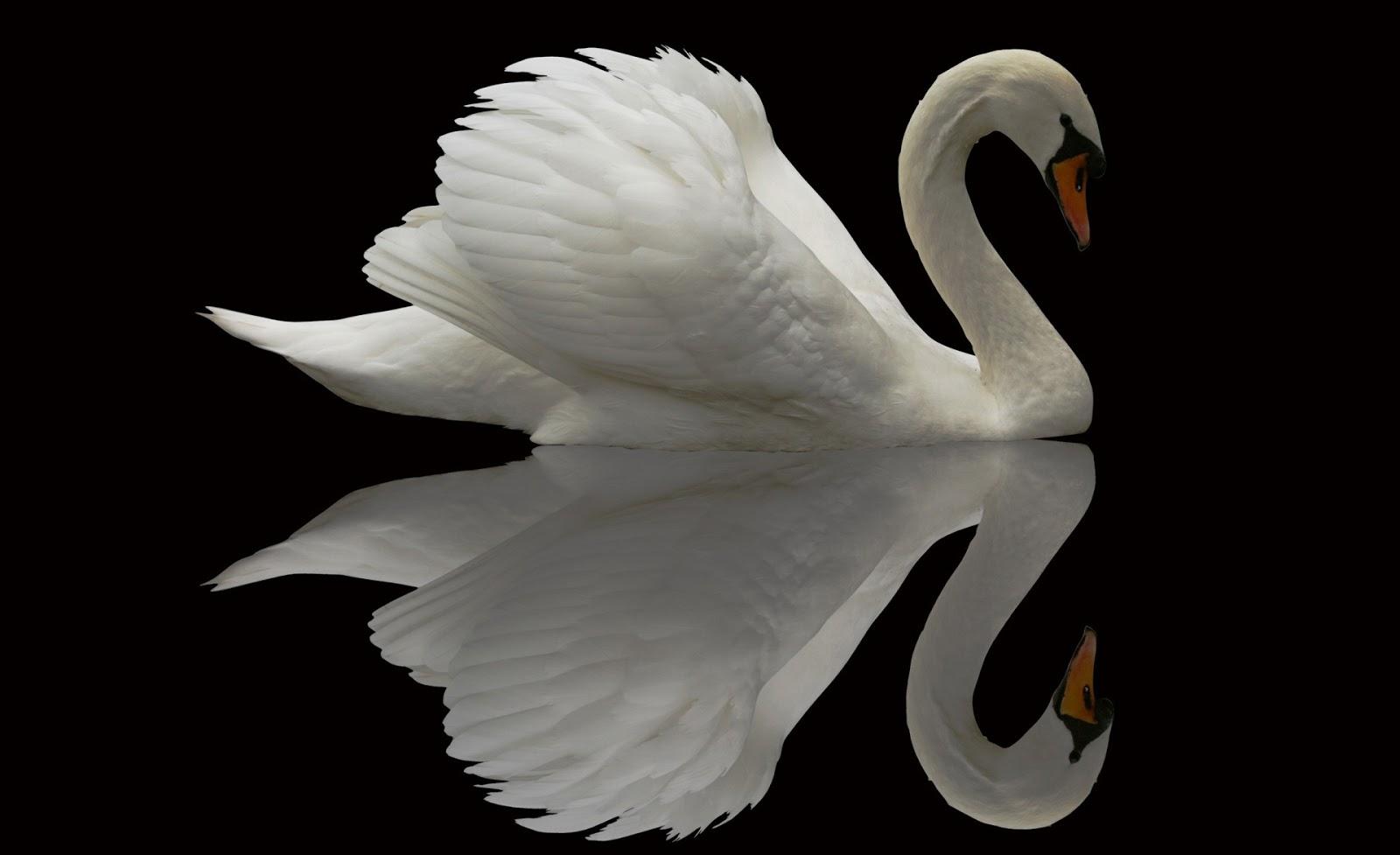 White swan reflectionswanbirds 1600x977