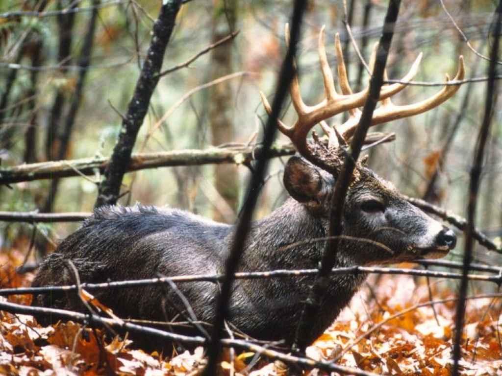 Whitetail Deer Wallpaper 1024x768