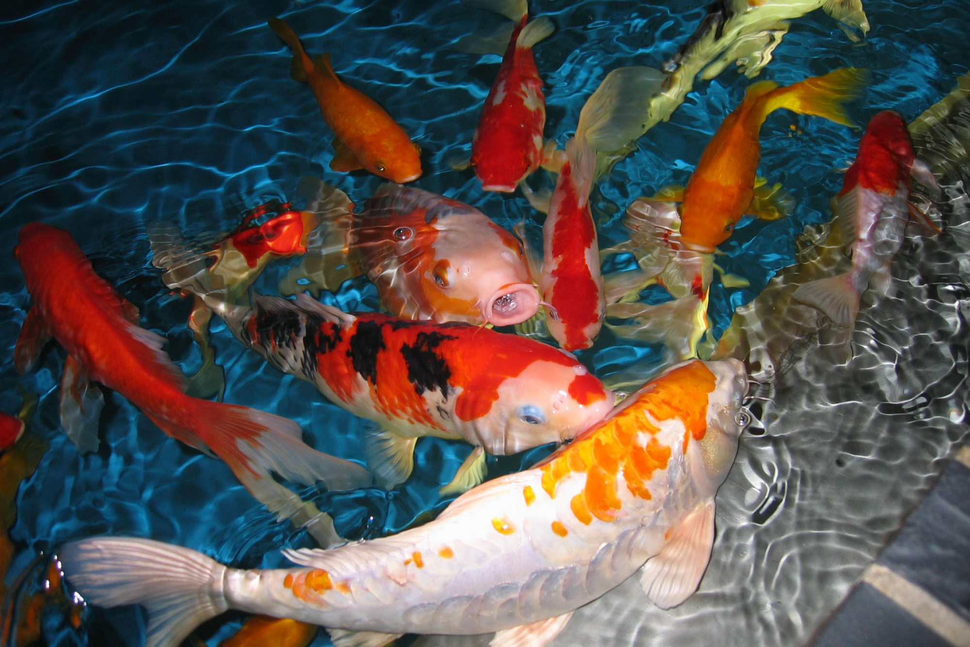 34+ HD Koi Fish Wallpaper on WallpaperSafari