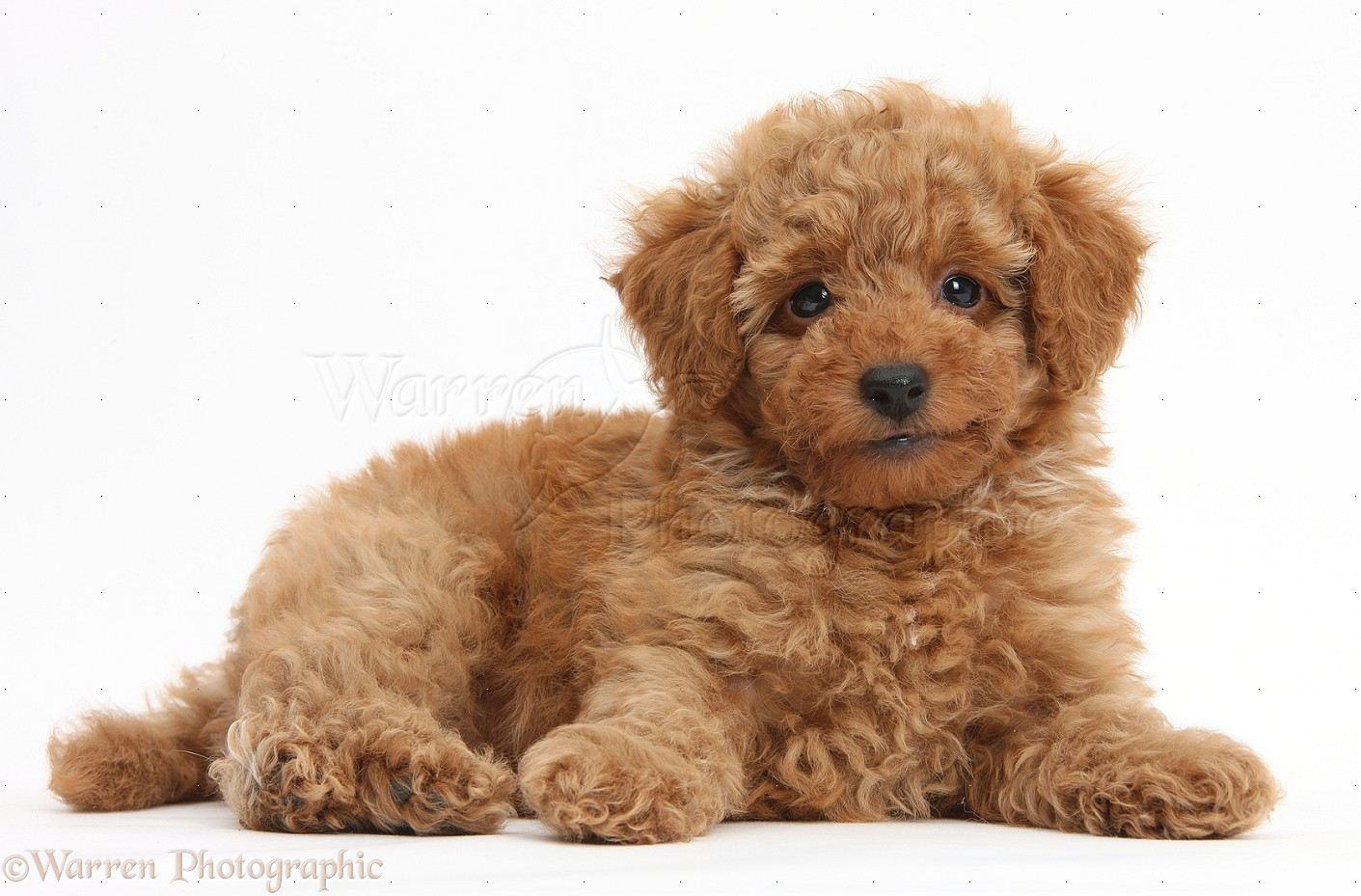 Dog Cute red Toy Poodle puppy photo   WP38746 1411x929