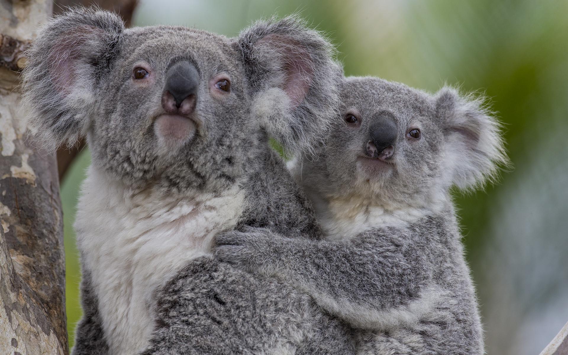 [48+] Baby Koala Wallpaper on WallpaperSafari
