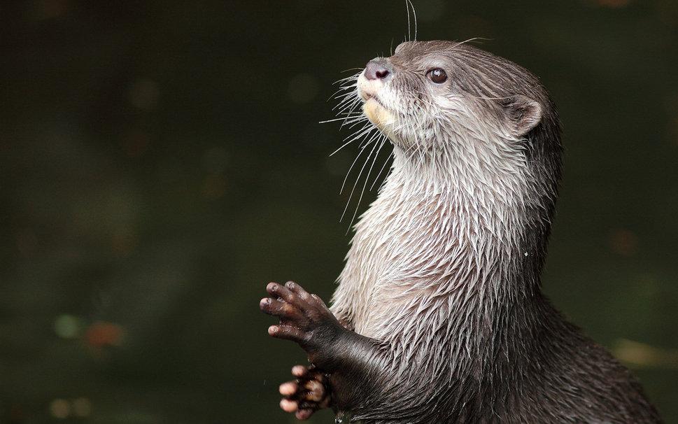 Pin River Otter Wallpaper Animalwallpaperstc 969x606