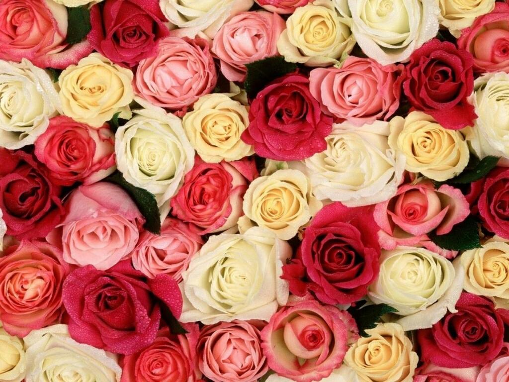 rose flower wallpaper images wallpapersafari