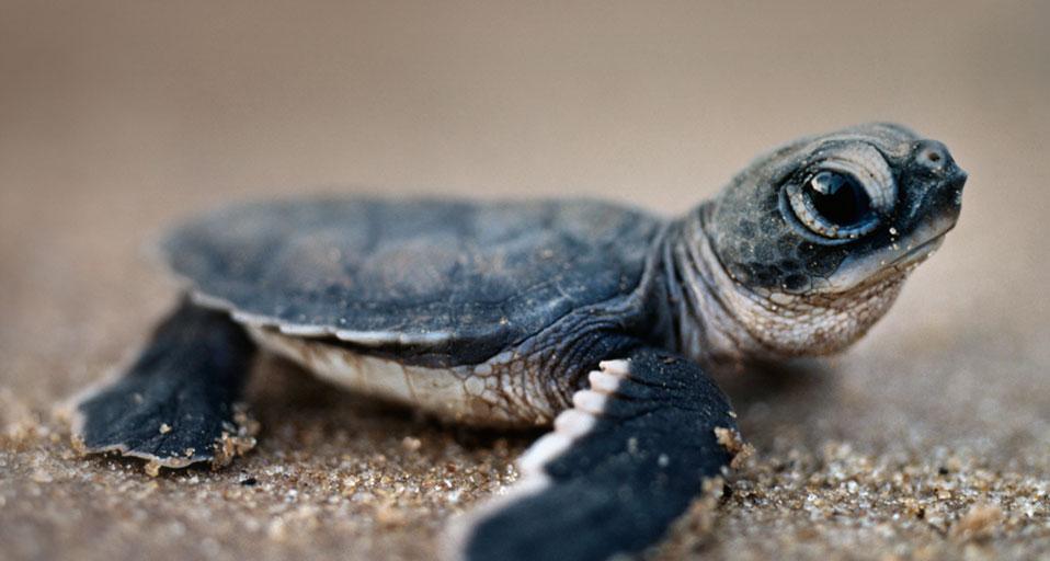 Bing Images   Turtle Hatchling   Green sea turtle hatchling in Surinam 958x512
