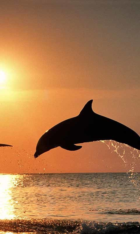 Cute Dolphin Live Wallpaper Android Live Wallpaper download 480x800