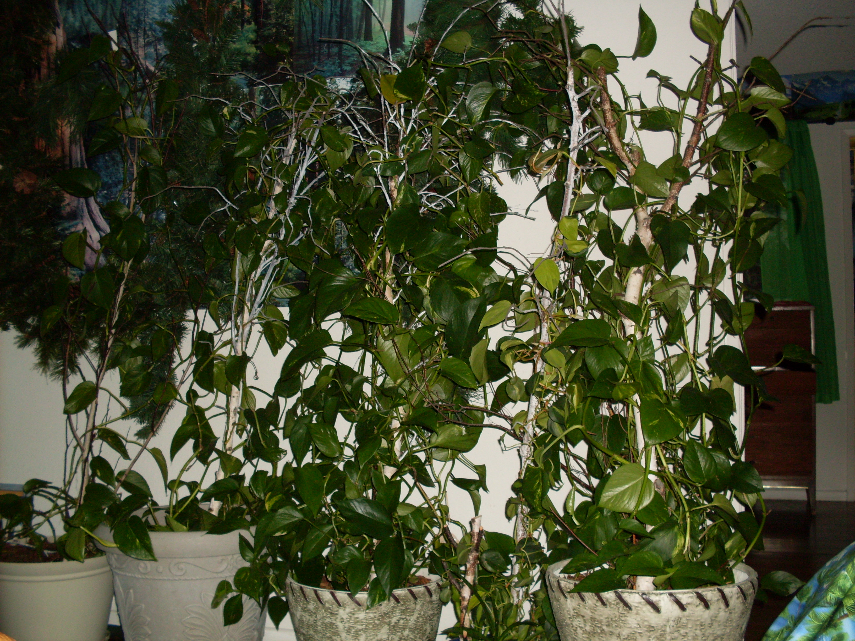 making oxygen dr renfrews birch trees in family room 3264x2448