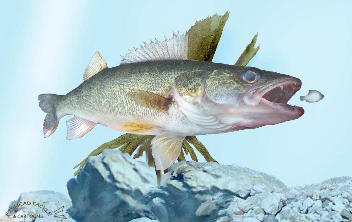 Walleye wallpaper wallpapersafari for Wall eye fish