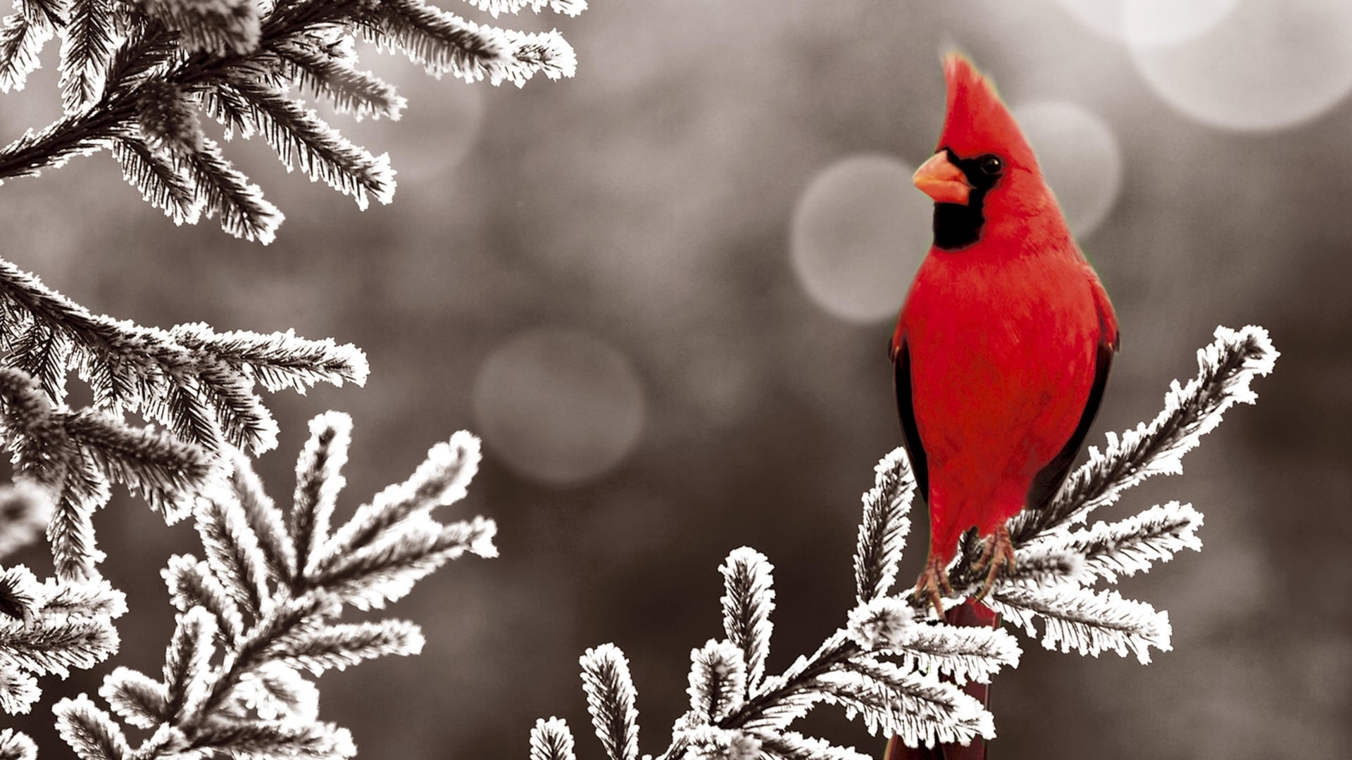 Download Wallpapers Download 1920x1080 ice winter red birds cardinal 1920x1080