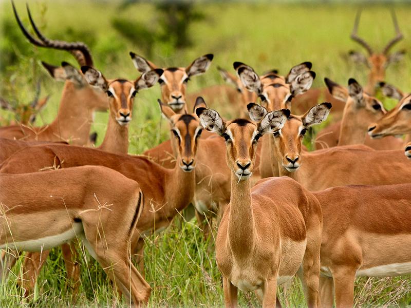 deer like red deer sika deer fallow deer chinese water deer eik deer 800x600
