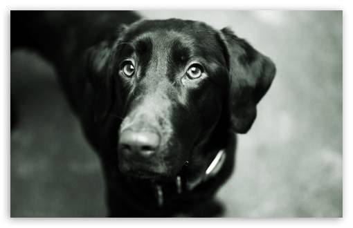 Black Lab HD wallpaper for Standard 43 54 Fullscreen UXGA XGA SVGA 510x330