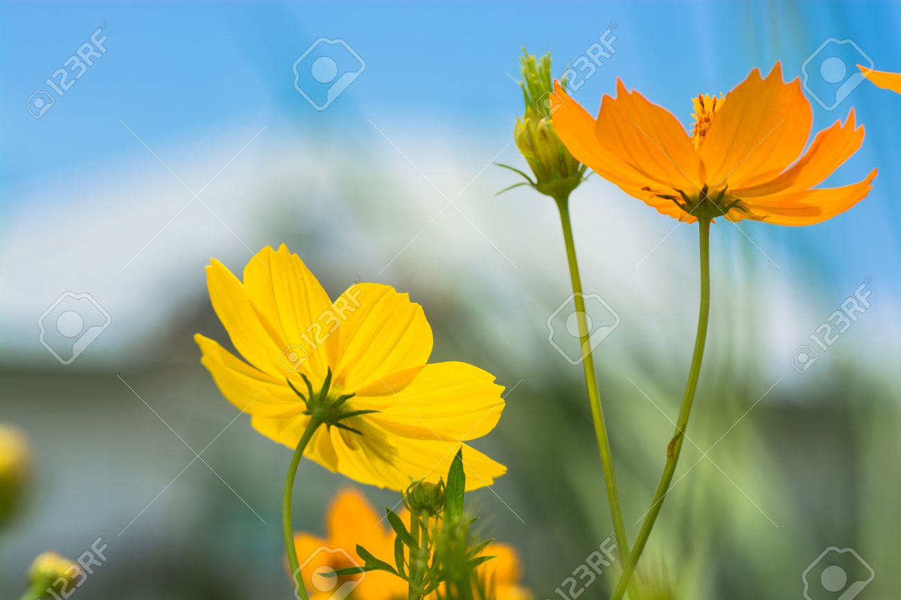 Orange And Yellow Cosmos Flowers With A Vague View Of A House 1300x866