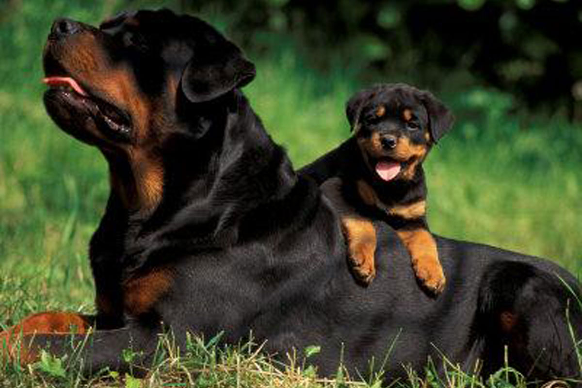 Rottweiler Puppies For Sale 25 Wide Wallpaper   DogBreedsWallpapers 1200x800