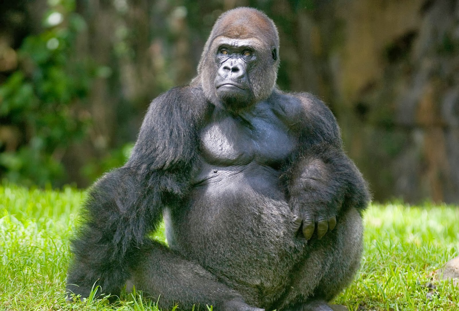 Gorilla HD Wallpapers Animals World 1600x1086