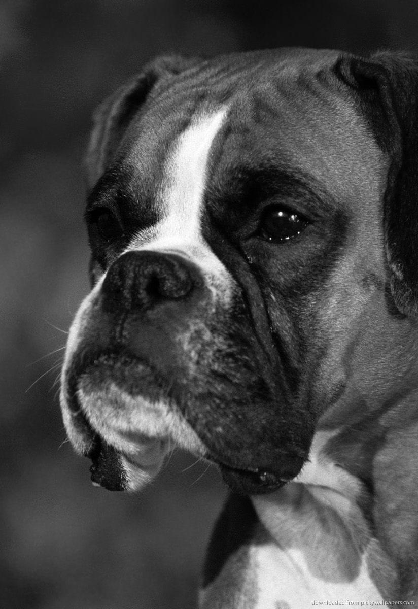 boxer dog puppies Page 6 824x1200