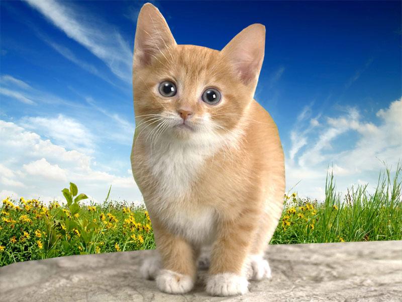 Wallpapers Download Cat Desktop Wallpapers 800x600