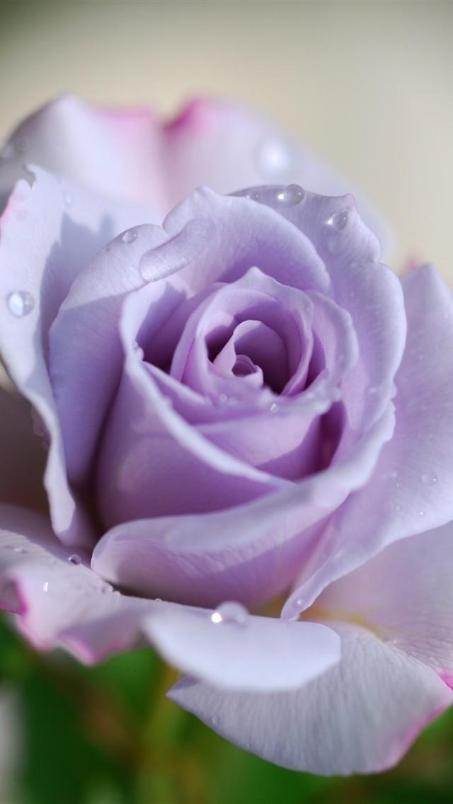 Rose In Violet iPhone 5 Wallpapers Hd 640x1136 Iphone 5 Wallpapers 640x1136