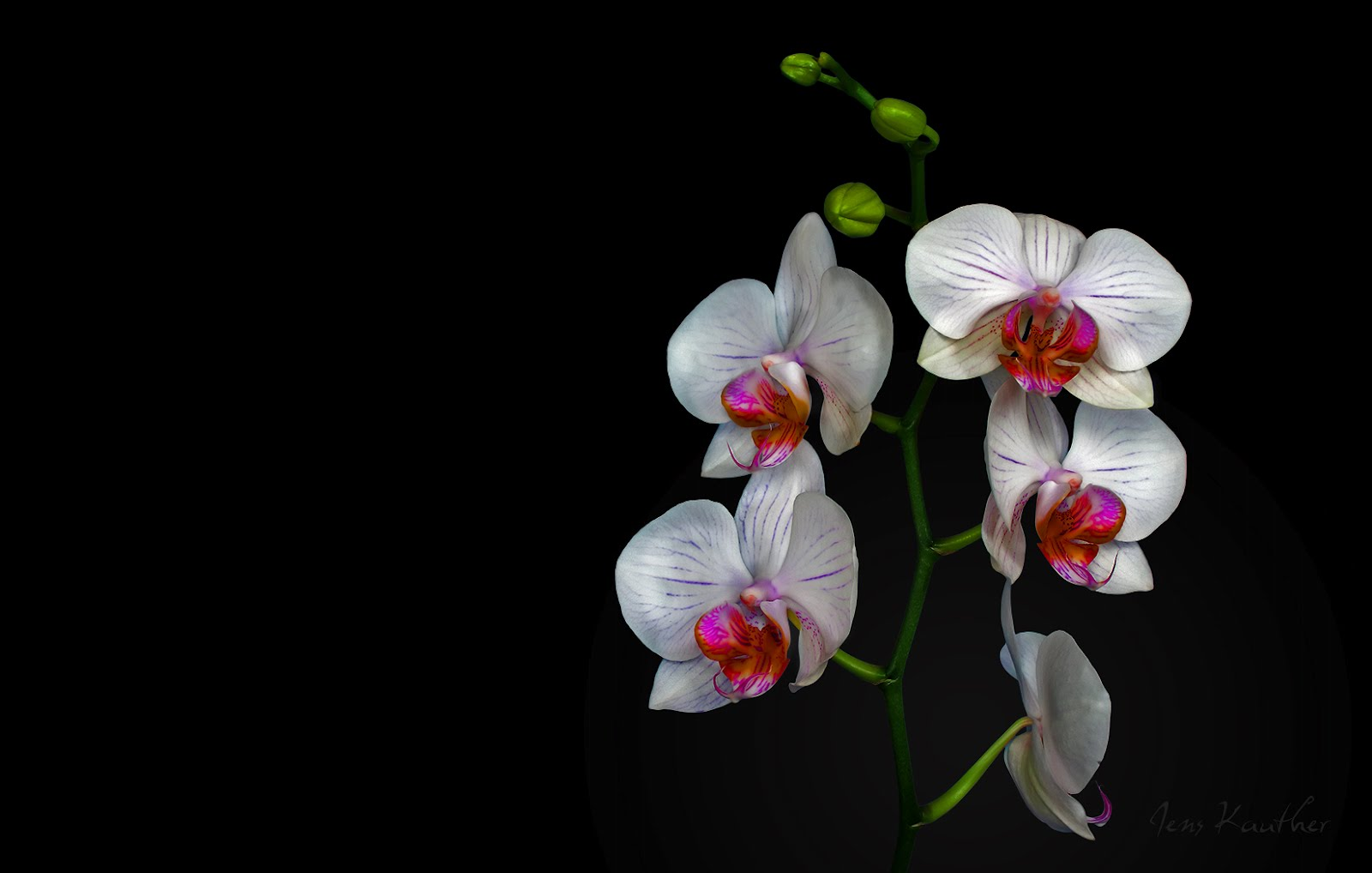 White orchids wallpaper wallpapersafari - White orchid flowers desktop wallpapers ...