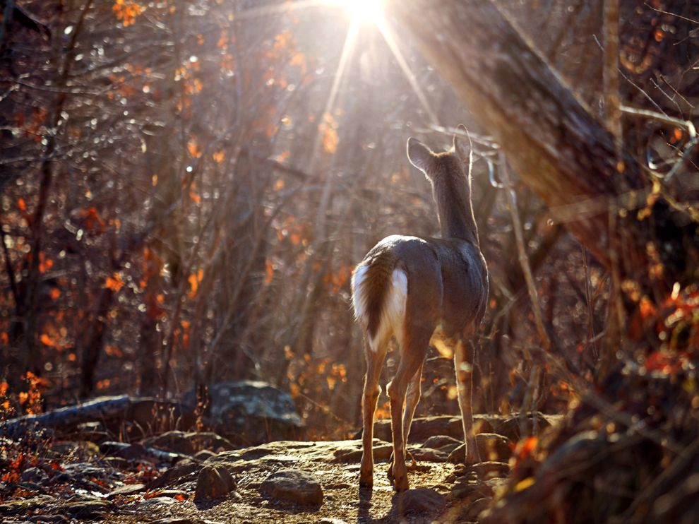 Whitetail Deer Picture    Animal Wallpaper    National Geographic 990x742