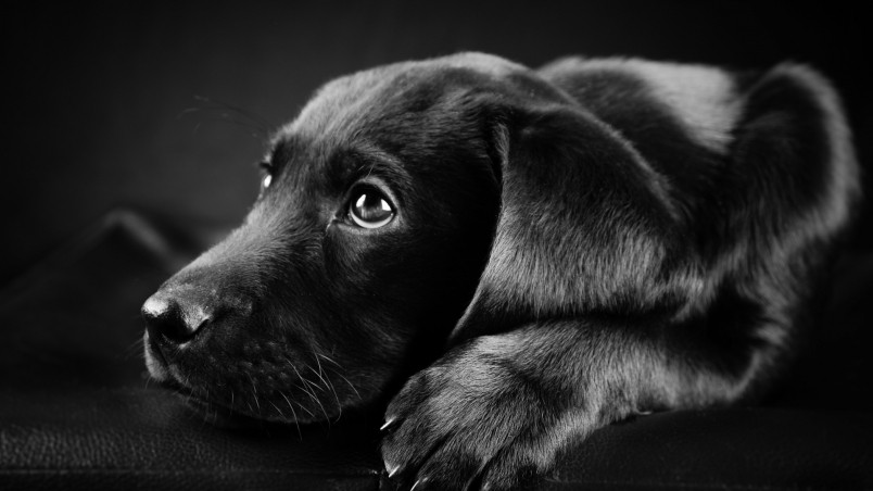 Black Labrador Puppy HD Wallpaper   WallpaperFX 804x452