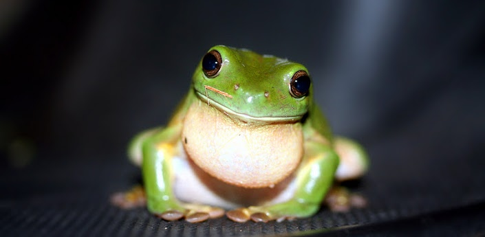 Cute Frog Wallpapers 705x345