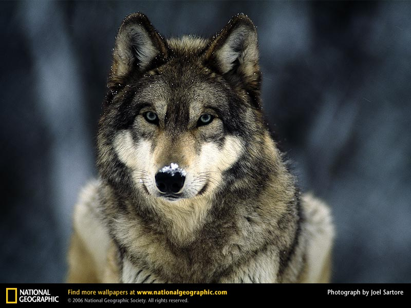 desktop really cool wolf pictures dowload desktop really funny 800x600