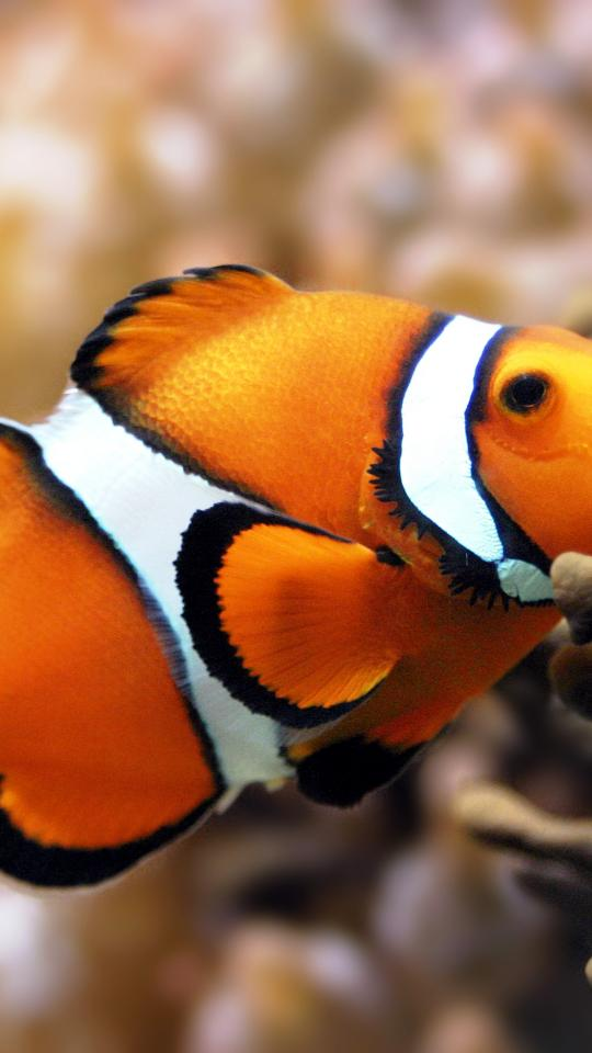 fish clownfish tank clown desktop 3072x2048 wallpaper 290780jpg 540x960