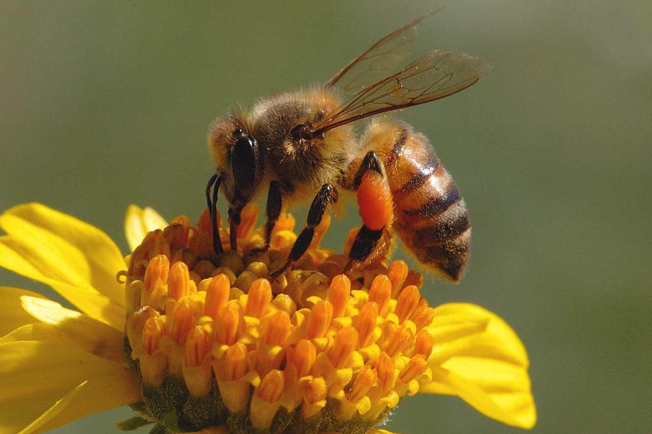 Honey Bee Pictures 1280x853