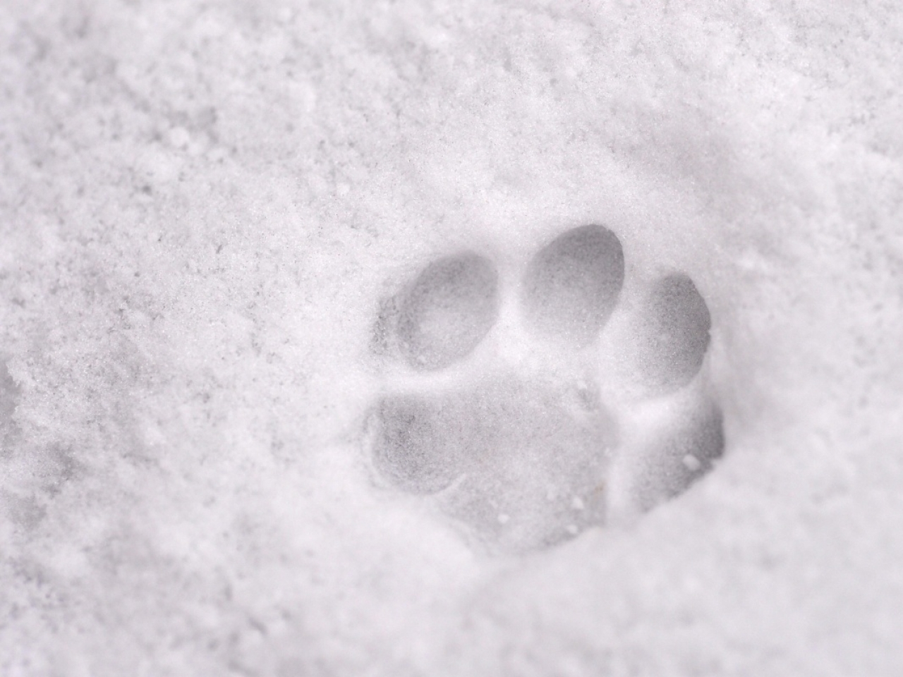 Free Download Snow Animals Paw Print 1280x800 Wallpaper Art Hd Wallpaper Download 1280x960 For Your Desktop Mobile Tablet Explore 67 Paw Print Wallpaper Dog Paw Print Wallpaper Border Paw