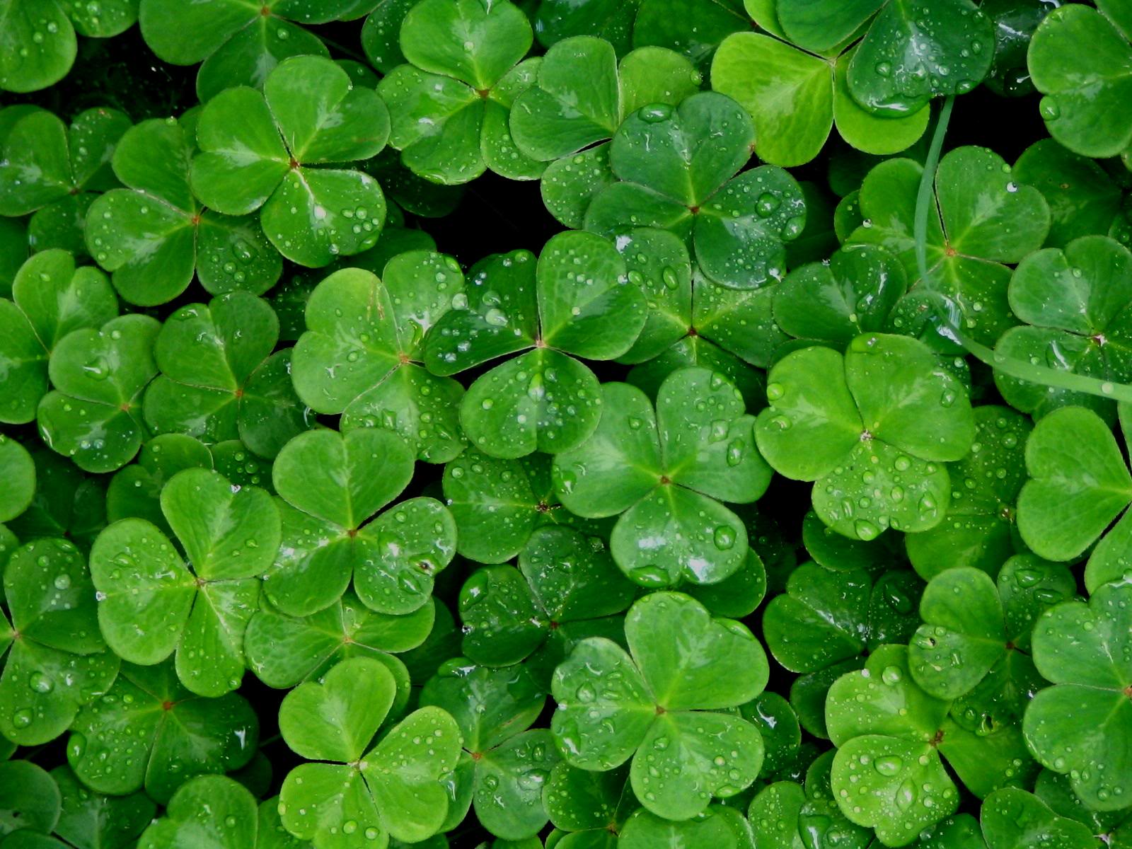 Shamrock Wallpaper HD wallpaper background 1600x1200