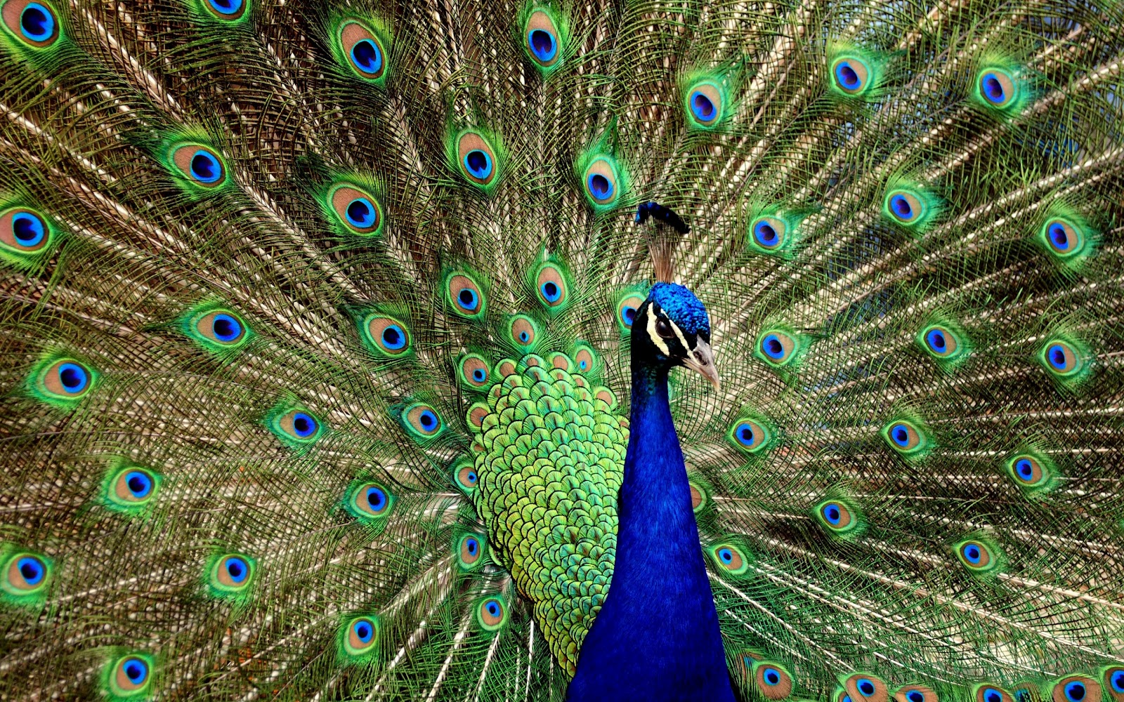 49+] Peacock Wallpaper for the House on WallpaperSafari