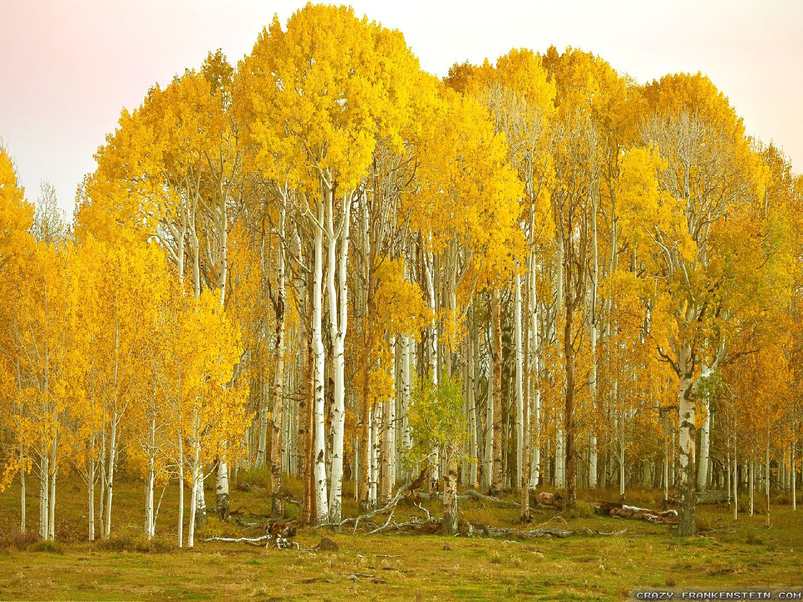 Birch Tree Wallpaper   Desktop Backgrounds 1600x1200