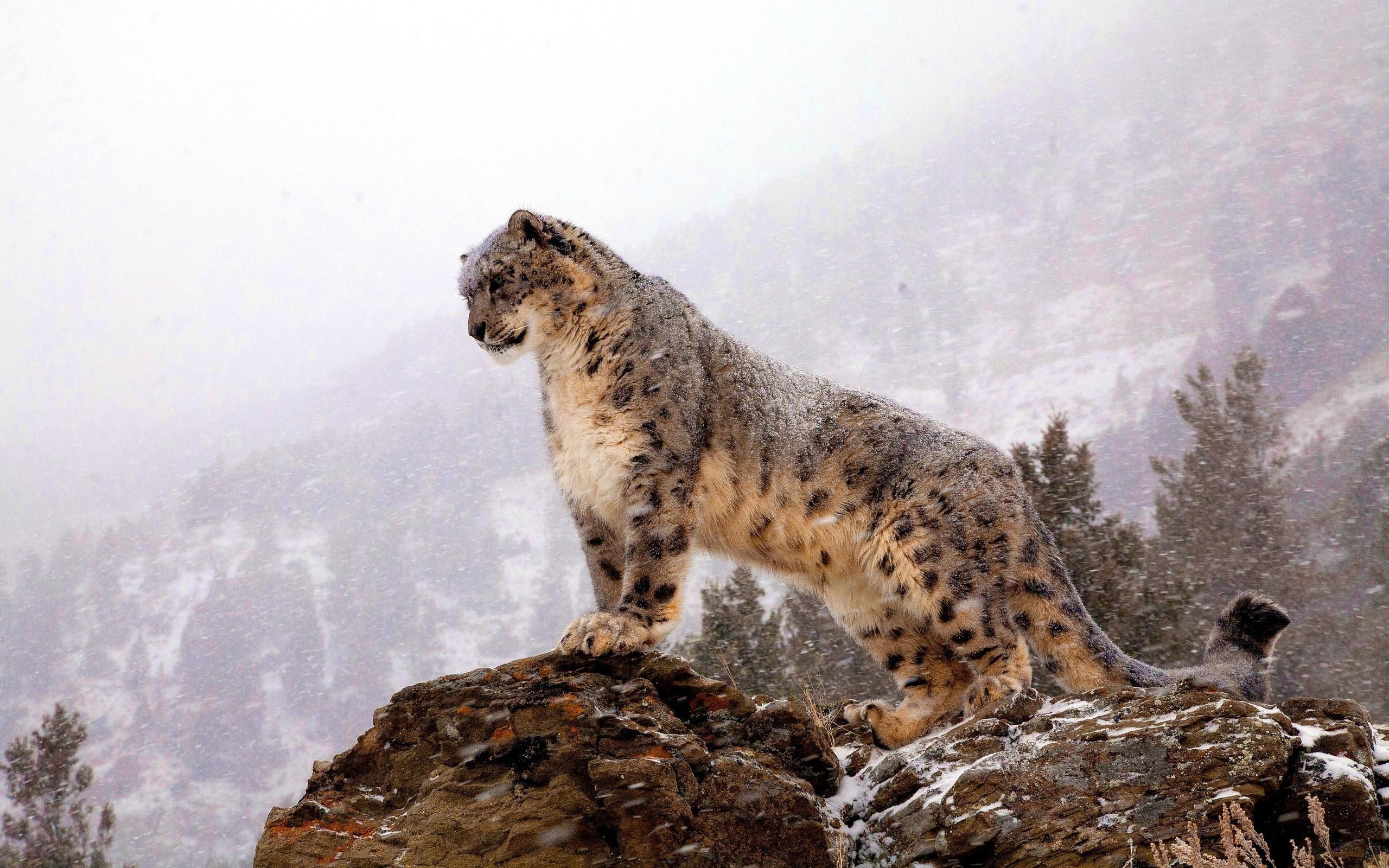 2560x1600px Snow Leopard Wallpaper Hd Wallpapersafari