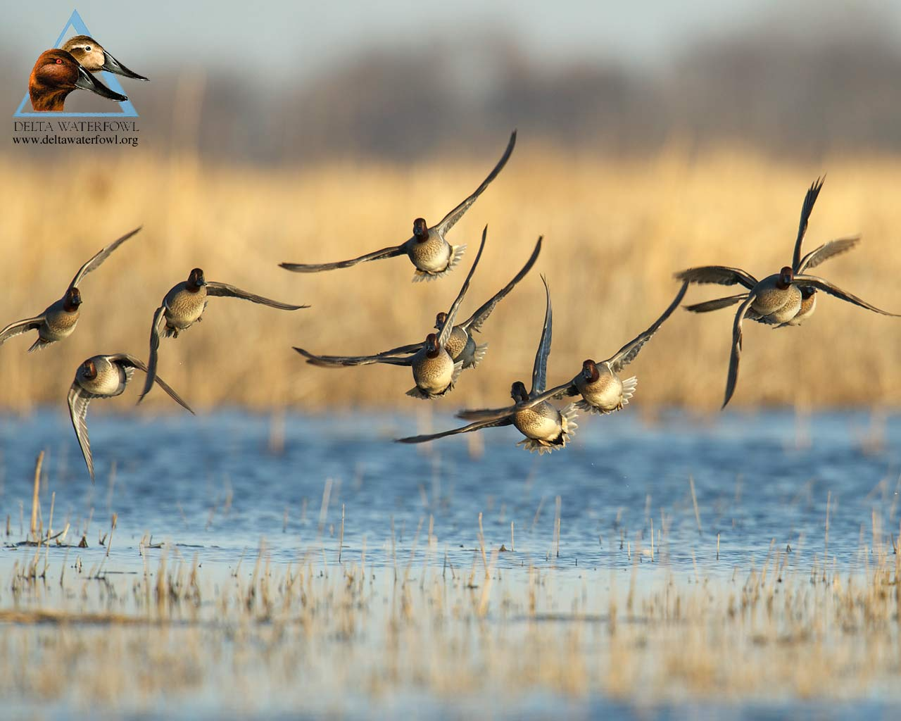 Image Gallery For Waterfowl Wallpaper 1280x1024