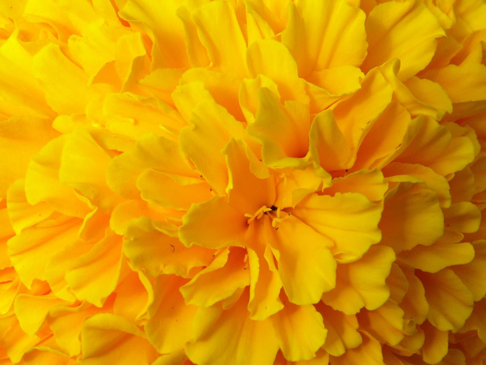 700 flowers wallpaper yellow 700 flowers wallpaper yellow wallpapers 1600x1200