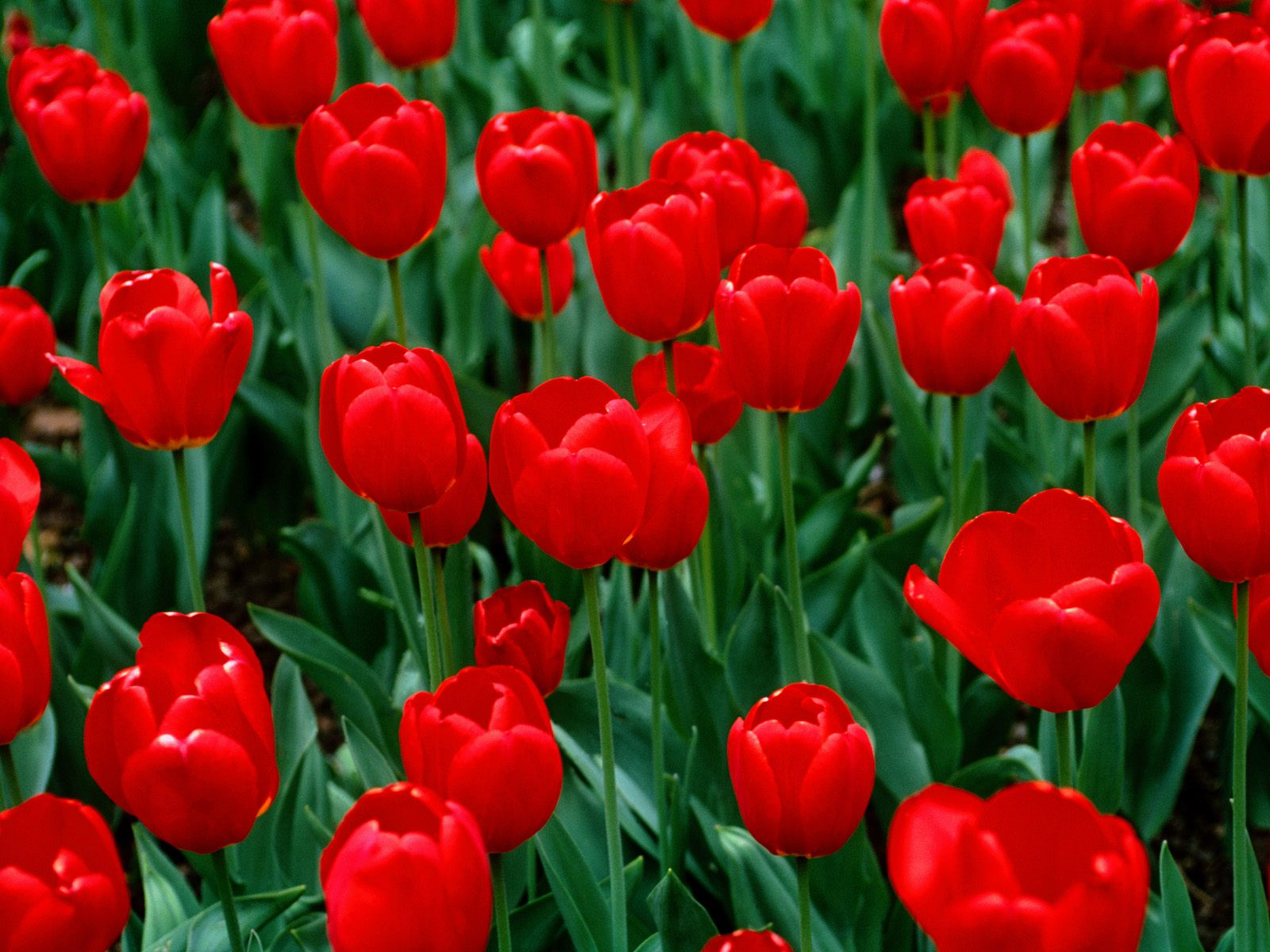 flowers for flower lovers Red tulips desktop wallpapers 1600x1200