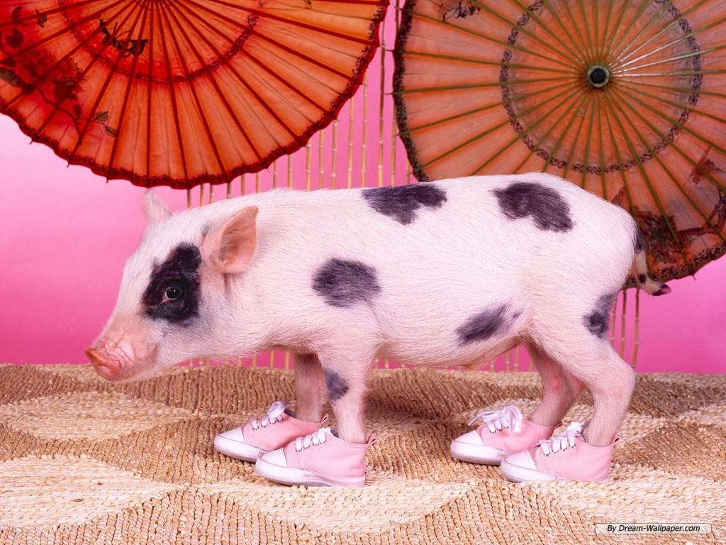 Wallpaper   Animal wallpaper   Lovely Pig wallpaper 1024x768