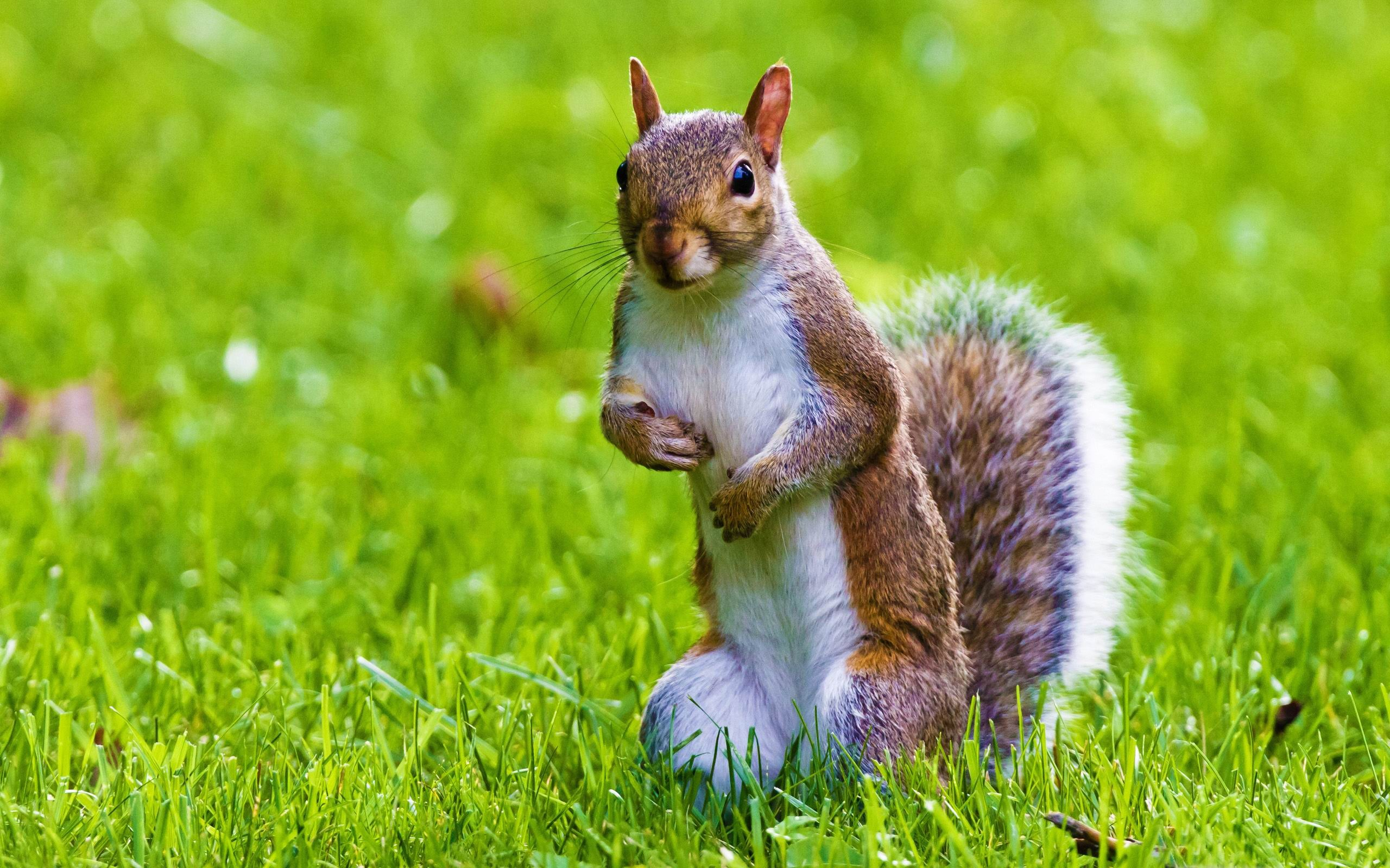 cute squirrel wild animal desktop wallpaper HD Wallpapers 2560x1600