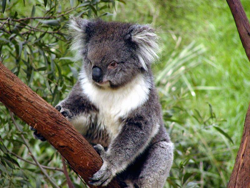 koala bears kissing
