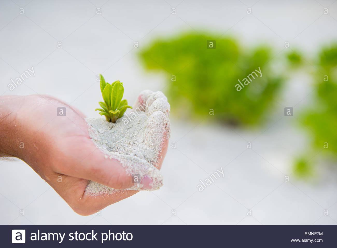 Hands holding green sapling background the white sand Stock Photo 1300x956