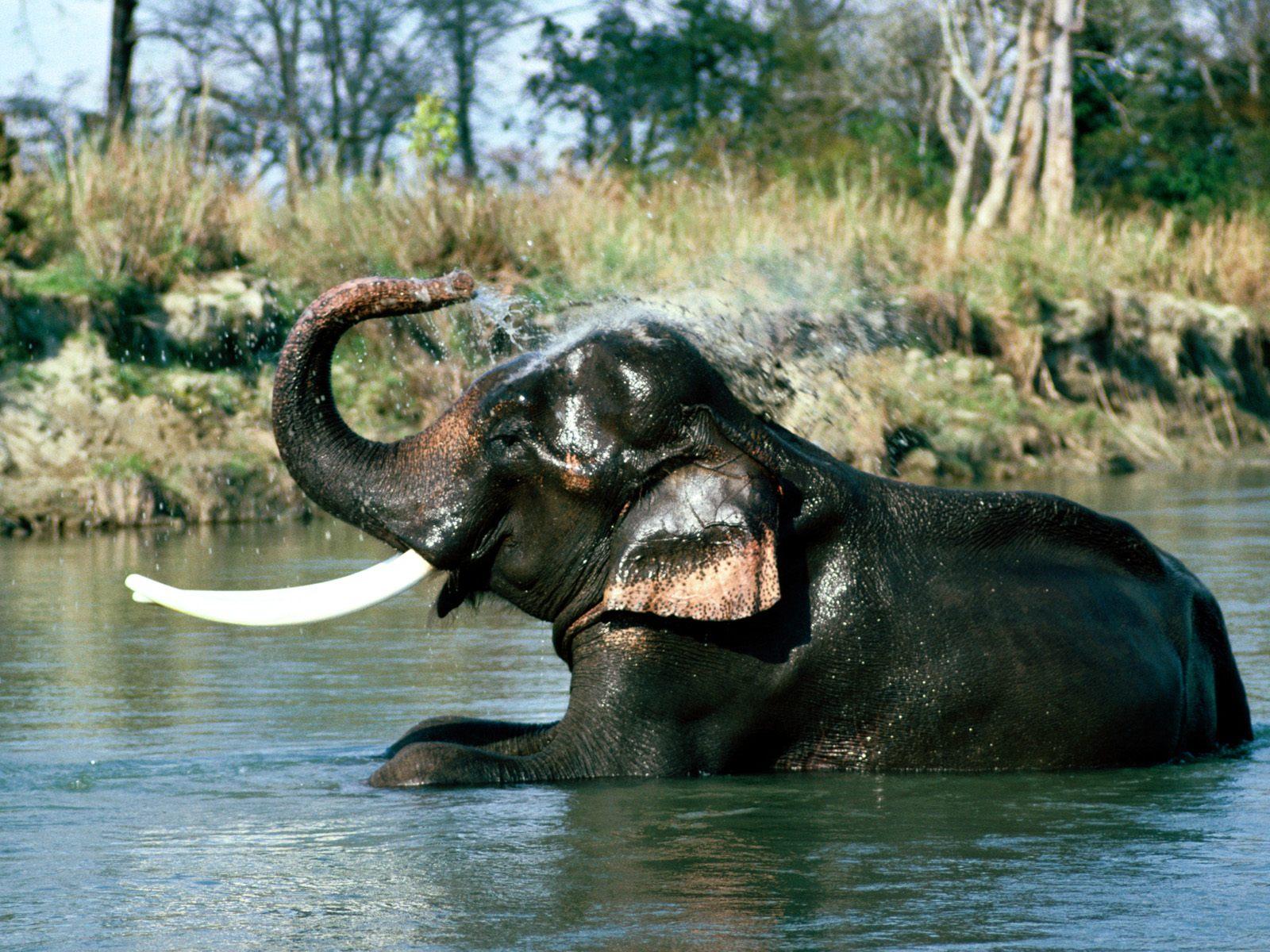 Wallpaper download elephant - Indian Elephants High Quality Wallpapers Free Download Wallpapers