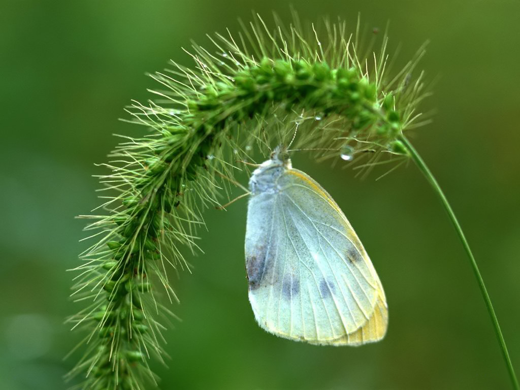 Wallpaper Gallery Animals Green veined White butterfly images 1024x768