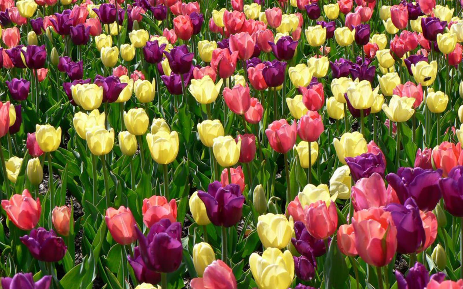 free spring flowers wallpaper desktop - flowers healthy