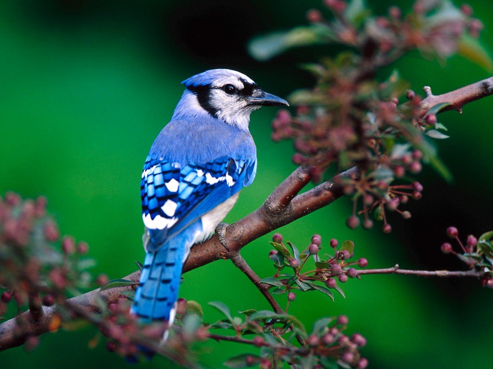 Blue Bird Wallpaper Share On Whats app   Images Photos 1600x1200