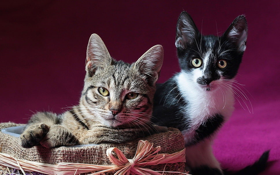 Tabby and Tuxedo cats HD wallpaper Wallpaper Flare 970x606