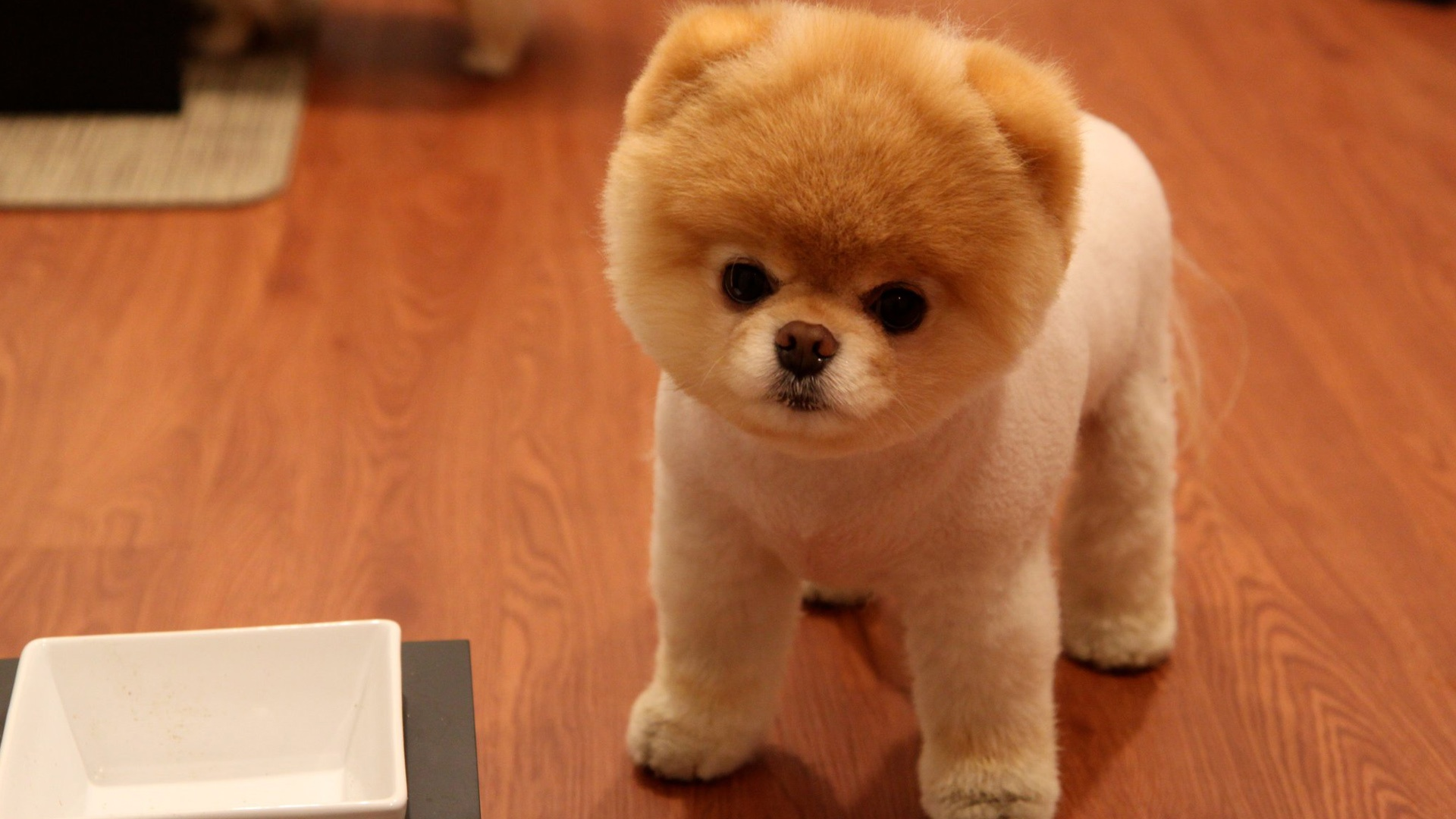 Cute Pomeranian Dog Wallpapers HD Wallpapers 1920x1080