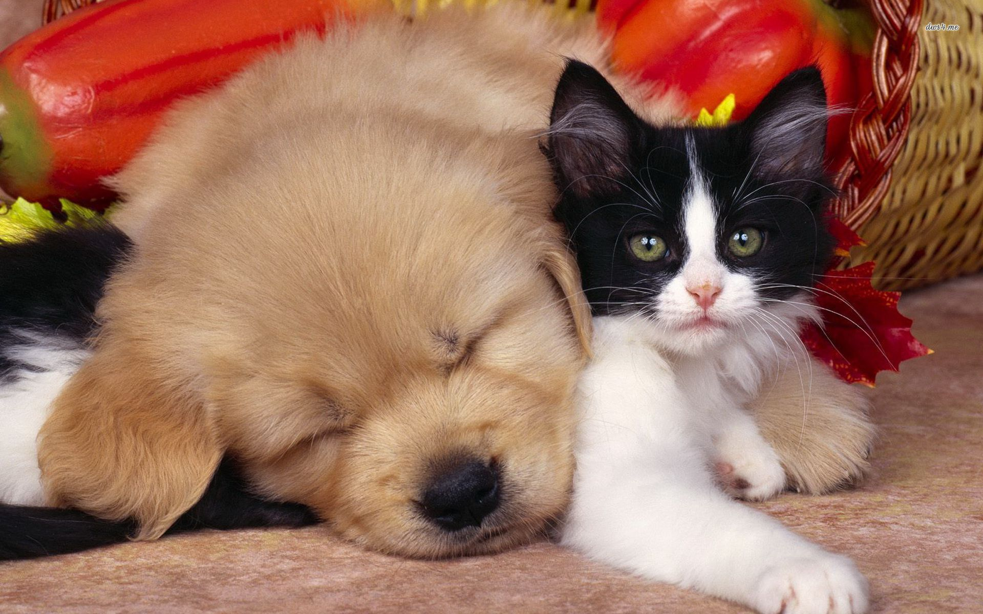 cute dog and cat hd wallpaperjpg 1920x1200