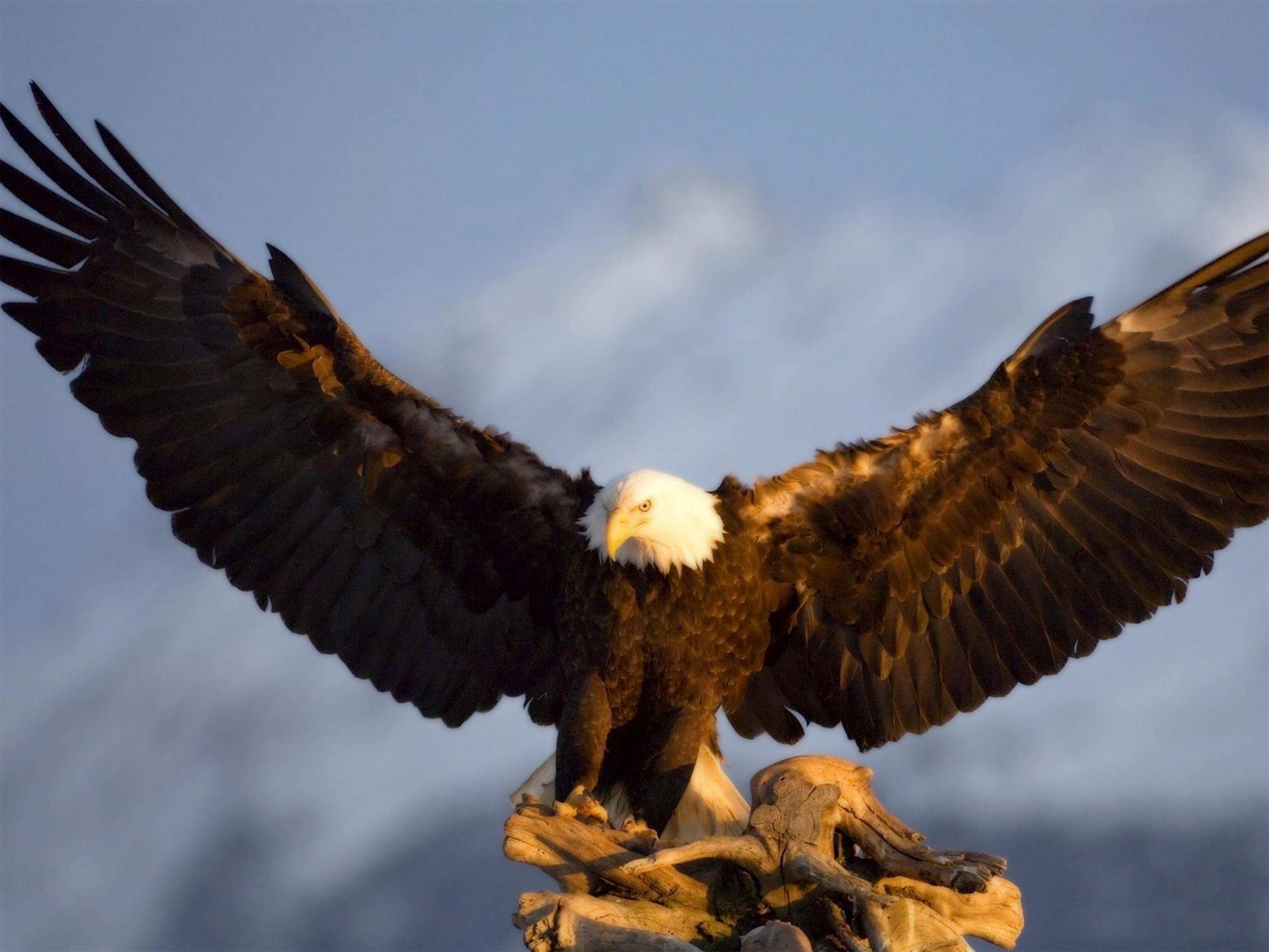 35+ Eagles Wallpapers HD Widescreen on WallpaperSafari