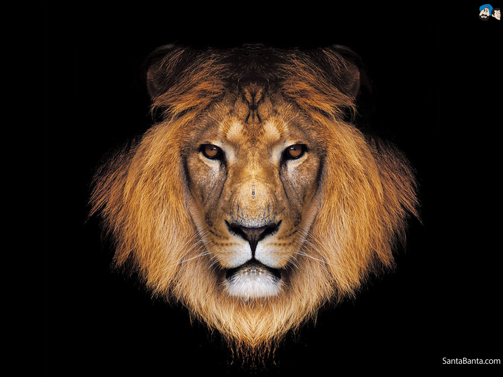 Lion wallpaper Wallpaper Wide HD 1024x768