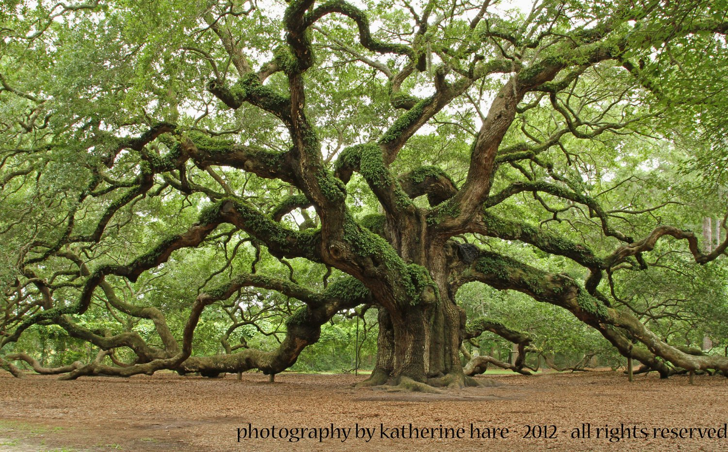 Angel Oak Tree Wallpaper 6   1500 X 932 stmednet 1500x932